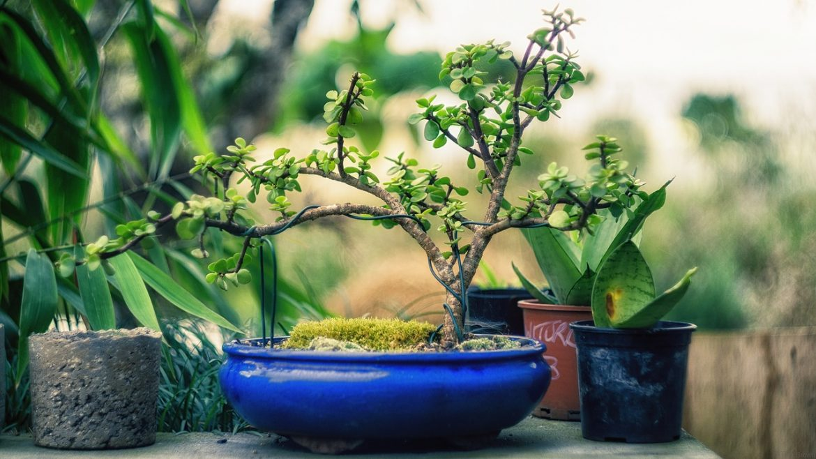 How To Take Care Of Your Bonsai Tree?